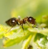 Ameise auf einem grünen Blatt Makro Stockbild