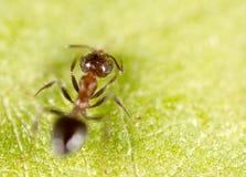 Ameise auf einem grünen Blatt Makro Stockbilder