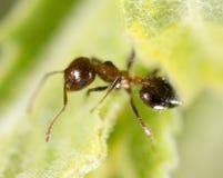Ameise auf einem grünen Blatt Makro Stockfotos