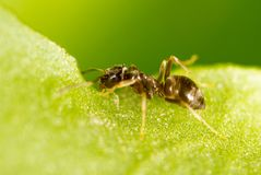 Ameise auf einem grünen Blatt Makro Lizenzfreie Stockbilder