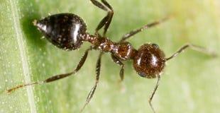 Ameise auf einem grünen Blatt Makro Lizenzfreie Stockfotografie