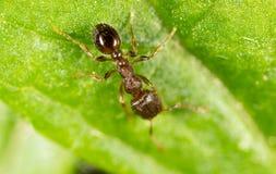 Ameise auf einem grünen Blatt Makro Lizenzfreie Stockfotos