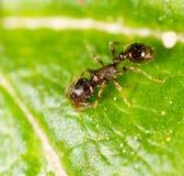 Ameise auf einem grünen Blatt Makro Stockfotografie