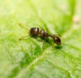 Ameise auf einem grünen Blatt Makro Lizenzfreies Stockfoto