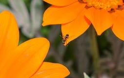 Ameise auf einer Blume Lizenzfreies Stockfoto