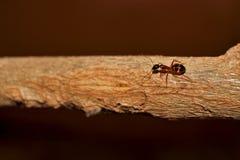 Ameise auf einer Niederlassungsnahaufnahme Stockbilder
