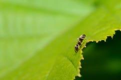 Ameise auf grünem Blatt Lizenzfreie Stockfotos