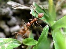 Ameise auf Gras stockbilder