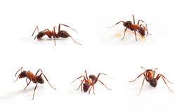 Ameise auf Weiß Lizenzfreies Stockbild