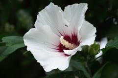 Ameise in der weißen roten Blume Stockbild