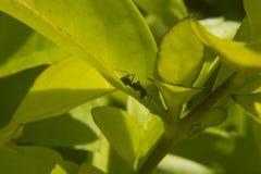 Ameise, die auf einige Blätter geht Stockbild