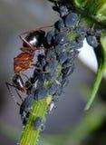 Ameise, die Blattläuse neigt Stockbild