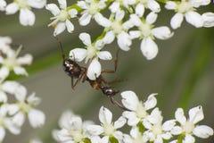 Ameise, die in den weißen Blumen hängt Lizenzfreie Stockfotografie