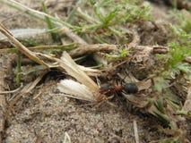 Ameise, die eine Motte trägt Stockbild