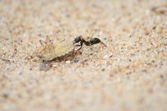 Ameise, die einen großen Programmfehler auf dem Sand trägt Lizenzfreie Stockbilder
