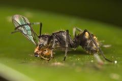 Ameise, die Mahlzeit hat Lizenzfreie Stockfotografie
