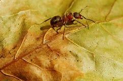 Ameise, die nach Lebensmittel sucht Stockfoto