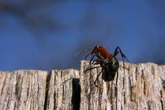 Ameise fast auf Spitze und zurück schauen Stockbild