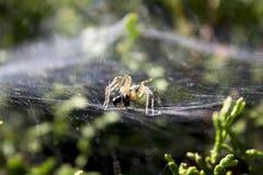 Ameise fing auf einem Garten spiderweb in der Tagesbeleuchtung Stockfoto