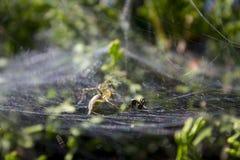 Ameise gefangen auf spiderweb Stockbild