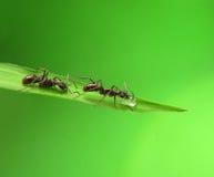 Ameise getrennt auf Gras Stockbild