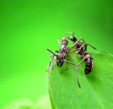 Ameise getrennt auf Weiß Lizenzfreie Stockfotografie