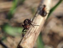 Ameise am hölzernen Stock, der Kamera betrachtet Stockfoto