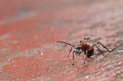 Ameise, Insekt auf der hölzernen Tabelle Stockfotos