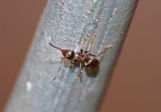 Ameise - Makroschuß stockfotos