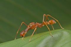 Ameise-mimische springende Spinne Lizenzfreie Stockfotos