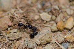 Ameise nahe bei einem Exemplar tot lizenzfreie stockbilder