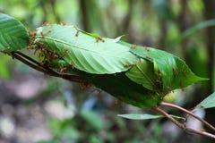 Ameise nistet auf Baum, die roten Ameisen, die nah oben nisten stockfoto