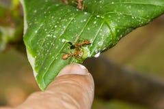 Ameise nistet auf Baum, rotes Ameisennisten Stockbilder