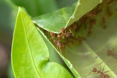 Ameise und Blätter Konzeptteamzusammenarbeitung stockbilder
