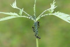 Ameise und Blattlaus Lizenzfreies Stockfoto