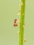 Ameise und Blattlaus auf Anlagen Stockbilder