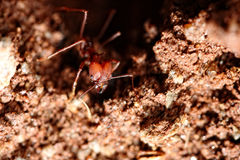 Ameise von der Lochnahaufnahme Stockbilder
