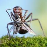 Ameise, welche die tote Mücke, gerichtet auf Mücke anhält Lizenzfreies Stockfoto