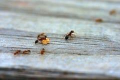 Ameisen Lizenzfreie Stockfotografie