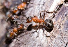 Ameisen lizenzfreie stockfotos