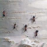 Ameisen auf der Birkenrinde Stockfotografie