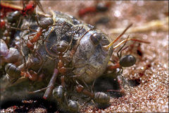 Ameisen auf einer Dienstreise Stockfotografie