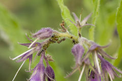 Ameisen auf purpurroten Glocken Stockfotografie