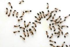 Ameisen auf Zucker Stockfotos