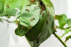 Ameisen bauen das Haus auf einem Baum Lizenzfreies Stockbild