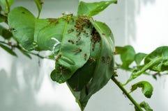 Ameisen bauen das Haus auf einem Baum Stockfotos