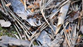 Ameisen bei der Arbeit stock video footage