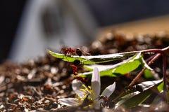 Ameisen bei der Arbeit Lizenzfreies Stockbild