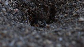 Ameisen-bewegliches großes Insekt vom Nest stock footage