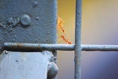 Ameisen des roten Feuers, die mit einander auf einem Eisentor sich verständigen stockfotos